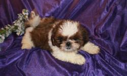 """""""Andy"""" Male, Red/White, Born 05/03/11, First Shots, Wormed and One Year Replacement Guarantee. Deposit required. We are located at Sage Lake, near Hale Mi. A Three hour drive from Detroit. For buyers from Lansing, Ann Arbor, Detroit and surrounding areas"""