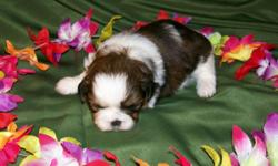 """""""Min-Loo"""" Female, Born 10-28-10, Brown/White, 8-10lbs. at maturity. First Shots, Wormed and One Year Replacement Guarantee. Ready Dec 28th. For more information and to view other puppies available go to our site at: north-country-shih-tzu.com email:"""