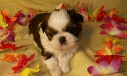 """""""Tzu-Lee"""" Female, Born 10-28-10, Ready January 2nd. Brown/White, 8-10lbs. at maturity, First Shots, Wormed and One year Replacement Guarantee. For more information and other puppies available visit or site at; north-country-shih-tzu.com or email:"""