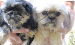 One dobi in color and one cream with black 4mons old They have had their shots and wormed. Very health happy girls, looking for there forever home. Pad trained, but prefer outside.