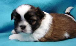 Beautiful AKC Shih Tzu Boys, born 10-5, Ready 12-15, 2 Red/White ,1Black/White. All shots and de wormings are up to date dew claws removed,care package. VET checked and written health guarantee provided. We sell our puppies with AKC Limited Registration,