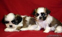 Beautiful AKC Shih Tzu Puppies, 2M,Gold/White/with Black markings. 1F Brindle/White & 1F Gold/White/Black markings. Born 10-22, Ready 12-29. .All shots and wormings are up to date, dew claws removed and care package provided. VET checked and written