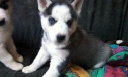 I have 2 female Siberian Husky pups for sale...black and white with blue eyes. They are from a litter of 4. Both parents are on site.. Puppies were born Dec 13, 2010 and were 6 wks as of Jan 24th.. Come with AKC reg papers, wormed, and first shots.. If
