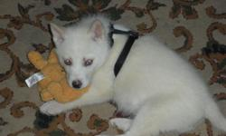 Solid white with ice blue eyes, he is 10 weeks old, and in a loving puppy. Would be great with kids, and it great with other dogs, and cats. Serious Inquires Only... Please email erickahousewright@yahoo.com or call 423-963-3455.
