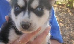 AKC SIBERIAN HUSKY PUPS 4SALE NOW! NEW PUPPIES DUE TO BE BORN BETWEEN JAN 24TH AND JAN 28TH, 2011! CALL NOW 561-361-9927 OR GO TO EVERBLUEKENNELS.COM