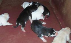 akc .siberan huskys $400.00 5 days old be rteady to go home in 5 weeks. call 334-476-1988 roy