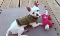 Beautiful white male AKC chihuahua ready for stud. Anaheim Hills, CA area. Please contact Julie by Email.