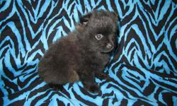 HOLLYWOOD PUPPIES HAS BEAUTIFUL T-CUP POM PUPPIES.... TWO BOYS READY TO GO TO THEIR NEW HOME NOW! ONE GIRL AND ANOTHER BOY COMING SOON! STARTING PRICES: MALE:$500 FEMALE:$600 EACH PUPPY IS UTD ON MEDICAL,DE-WORMER,SHOTS,PUPPY KIT,GOING HOME GIFT BAG,REG