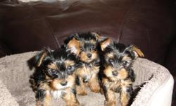 Adorable tiny tea-cup yorkies 2 boys and 1 girl available. AKC registered and up to date on shots and wormed. Very Cute, born on 09/11/2010 Great Personality and Socialized, Energetic. Healthy, bred and raised in loving home. Will be small sized, mommy