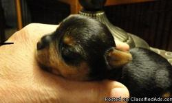2 FEMALE AKC REGISTERED TEACUP YORKIES. ADORABLE ENERGETIC TINY GIRLS 4 WEEKS OLD. I OWN TEACUP DAM @ 4 LBS AND SIRE @ 3 LBS. THE PUPPIES WERE 3.0 AND 3.4 OZ AT BIRTH AND ACCORDING TO YORKIE GROWTH CHARTS THEY WILL BE APPROX 3-3.5 LBS FULL GROWN. THEY