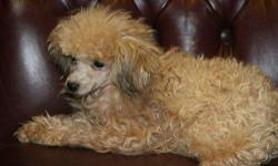 Beautiful Apricot color Tiny Toy Poodle female weighing 4.5 lbs. Born 9/26/2009. She is a sweet and loving girl and plays good with children and other pets. She has a nice temperament and will make a nice family companion. She is AKC registered, comes