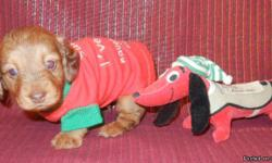 AKC Toy Dachshund Chocolate Based Red Dapple male puppy born on November 9, 2012 for $800.  He has two blue eyes as seen by having pink pupils instead of black pupils and should weigh around 8 to 9 pounds when grown.  His mother is a longhair