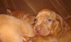 Reserve your puppy now! Born June 3rd, 2011 - will be ready to go the first week in August. Impeccable pedigree. Many champions on both dam and sire. Parents are excellence hunting dogs and family companions. Puppies will be well socialized. Dews and tail