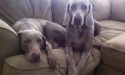 Beautiful Weimaraner Puppies AKC certified Only chance for puppies at this price, our female will not be having more puppies after this. These pups were born one March 18th. First shots administered, second shots option available. Tails and dew claws
