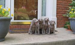 Champion Pedigree, Health Guaranteed, tails cropped and dew-claws removed, beautiful show quality Gray pups, both parents are champion bred with excellent OFA rating.   Pups are raised in our home and we make sure that they have been well socialized,