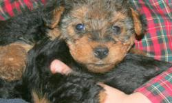 AKC Welsh Terrier Puppies, born Nov. 18th, 2010. Vet checked, health records by vet, tails docked, dew claws removed. Both Dam and Sire in our home with Pedigrees on both. Puppies dewormed every two weeks. 4 Males and 2 females available. Only to homes
