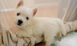 AKC Westies for Sale in Chalmette, La 70043 www.westielife.net 504-495-0991