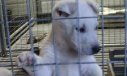 AKC WHITE GERMAN SHEPHERD PUPS. FIRST SHOT AND WORMED. LOOKING FOR A FOREVER HOME..$400..MALES LEFT