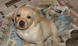 Big block heads, great disposition. Born February 7th. All shots given and dewclaws removed. Mother and Father onsite. Puppies are raised in the house so they are handled everyday. Already on their way being papertrained and exposed to the outside. Call