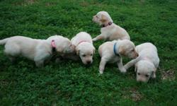 AKC registered yellow lab puppies with champion bloodline, 4 female & 2 male, 250 dollars each. Both parents are hunters, excellent pets and on site. Born on Dec 8th & will have shots and wormer when picked up. More pictures available upon request, taking
