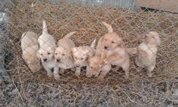 These adorable 8 week old pups (as of 01/16/2011) have had their first shoots. The mother is very smart, she knows tricks and learned hand signals quickly. The sire is an excellent duck retriever. These pups are AKC, purebred quality dogs. To select your