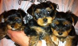 AKC Yorkie 3 male/3female ready to go June 15