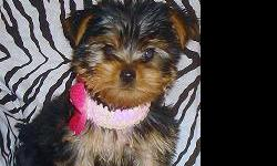 Yorkie Female AKC. DOB: 3-18-11. X-Tiny little Diva is only 5 inches tall, weighs just over 1.5 lbs and has an enormous personality! Crate and pad trained, current immunizations and dewormed. Not recommended for breeding, she's way too small. $850.00