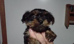 Ollie is a fun loving Yorkie who loves to play with kids and is trending to be right at 6 pounds. He is a loving little guy that follows you anywhere. Both Dam and Sire are beautiful AKC registered Yorkies and each puppy will come with their full AKC