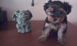 two yorkies one male and one female. Born March 18th 2011 and are ready for their new homes. Docked, dewclaws removed (by vet) and have had their first shots and de-wormed. Home raised not kennel raised puppies.Good with kids and other dogs. They are very