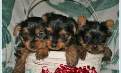 AKC yorkie TERRIER PUPS.M/F. Parents on Premises. We currently have two very nice females. and are very playful and loving. All our pups are given their vaccines and have been de-wormed. They are raised in our home with TLC, bred for quality and