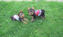 akc yorkies born march 29th 2011 one male and one female puppys are up todate on shots and come with one year health guarantee