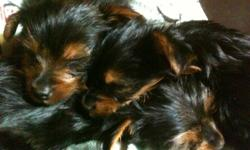 SMALL AKC YORKSHIRE GIRLS. Tails docked and dew claws removed. Show potential is there. Mom black and red 7 1/2 pounds. Dad black and tan @ 4 1/2 pounds. Interested pleasecall Alice @ -- home or @ -- cell or email