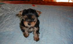AKC YORKSHIRE TERRIER PUP: DATE OF BIRTH FEB: 16TH 2011: ONLY ONE LITTLE MALE BOY STILL AVAILABLE: THIS LITTLE GUY IS WELL SOCIALIZED, AND POTTY TRAINING FOR THE PAPER IS UNDER WAY: REFERENCES UPON REQUEST: OPEN HOUSE POILICY FOR VIEWING WELCOME: WILL BE