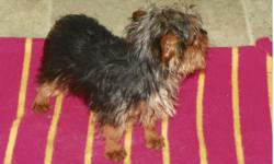 Yorkshire Terriers. Born 8-25-12. Ready now! Two males left. AKC Registered. Had shots and wormed. Tails are docked anddew claws removed. Good with children and other dogs.Father weighs 4.25
