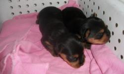AKC Yorkshire Terriers Tiny black and tan. gauranteed, all vaccinations up to date ,de-wormed, Vet. ck'd and health certificate . To be born june 19th place yuor deposits now to get pick of litter. Both parents on premise. $550 females $450 males Contact