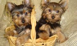 If you are looking for Champion Bloodline, Beautiful, Top Quality Yorkies, look no further. We may have the perfect little yorkie companion for you!Prices $1000 each and up which includes AKC registration, health certificate, de-wormed. Please call