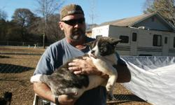 Akita pups were born October 13th, 2010. Both parents are on sight, CKC registered and have graduated obedience school. The pups have been wormed regularly and have had their 7 in 1 vaccine. I have 3 males and 2 females left. I have a total of 4 grown