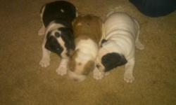 Beautiful IOEBA registered Alapaha Blue-Blood Bulldog puppies. Born August 26, 2011. A rare breed from Georgia. Very thich boned and heathy. These dogs are great for companionship, protection, and outside work. Have two females left. All pups come with
