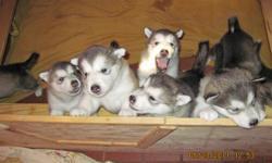 Tigara's Dakota In The Moonlight gave birth to 7 amazing puppies. AKC registered and Sire and Dam OFA certified. Dam has champion bloodlines. Shots started and wormed. Bred to work and Born to love. ONLY 1 MALE LEFT. Socialized with children. Ready Now!