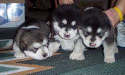 AKC Alaskan Malamute Puppies - Loving and Adorable - AKC Champion Lines - Ready to home on 3/11/2011. Pick your Puppy NOW. Call Debbie at 360-701-4891.