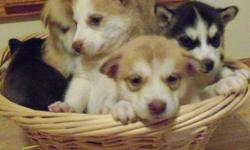 I have5 week old puppies. Six females and two males.They will be ready to go Oct 30.