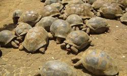 Hello, i am a Breeder of land Tortoises. I have tortoises ranging from males to females, babies to adults and breeding pairs of any tortoise breed that you will need. some of the common land tortoise examples are Elegans Tortoises, Radiated Tortoises,