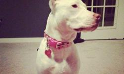 hello my name is Eris, I am a beautiful all white female 10 months old pitbull, I'm all white with one brown ear. Great dog, lots of fun and I have a lot energy, looking for a great home! Eris is a great dog, crate trained, also is a inside dog, but since