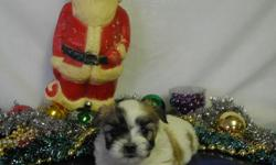 Alvin is a beautiful little man. He's parti-colored, tan, white, black, brown. His mom is a Shih Tzu & his dad is a Maltese so he's the best of both breeds. He was born on Halloween morning. He's the smallest of the litter of 4 & the only boy. He will