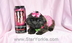 Looking for the perfect gift for Christmas? A new Puppy is sure to bring love & joy to the entire family!!! Visit our website www.StarYorkie.com now to see pictures and info for all available puppies, or give us a call to find out about new