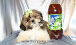 Visit our website www.StarYorkie.com now to see pictures and info for all available puppies. All of our puppies are registered, small, cute, healthy, and playful and come with health guaranty, free vet check and a complete puppy package. Thank