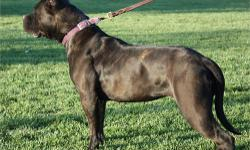 Mark Reasinger; PhD created this 57.5 mastiff & 42.5 bulldog cross by crossing three different European Mastiffs with three types of bulldogs, then keeping only the best for this selective breeding program. The Ambullneo has been featured on Entertainment