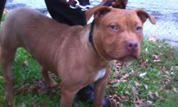 A 5 Month Old Red Nose 1st Pick Male Red Duke Blood Great Blood Line Big Cocky Bone Structure takes right after his dad dont sleep it will never be a dog like this again! UKC Registered/ Paperwork Ready Last 2 Pics Are Mom & Dad $1200 Cash/ Serious