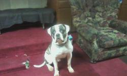 American Bulldog, ,Great guard dog, house trained 3 years old, male, Johnson, ARF registered. One owner better in home with no kids. Free to good home. please contact Terrence @ 323-984-3093.