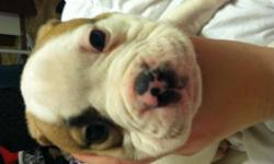 7 week old male American bulldog, is registard will come with papers and current shot records! Needs to go to a good home soon down sizing in house and can't keep him